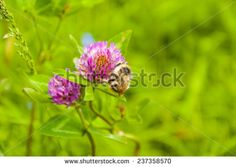 Bombus sylvarum (Shrill carder-bee, Knapweed carder-bee) while collecting pollen