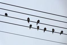 Fecskék Swallows :-)