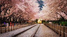 Arriving in spring  Cherry blossom tunnel in gyeonghwa station jinhae south korea Taken a year and half ago with my nex 6 :) posting it now since instagram no longer has one inch square format :D  #cherryblossom #sakura #jinhae #gyeonghwastation #경화역 #진해 #photogsinkorea #ic_landscapes #ic_city #hdr_pics #photo #hdr #igdaily #iger #korea #한국여행 #igaddict #ig_asia #ig_korea #iglightshots #master_shots