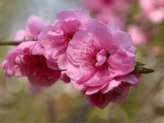 Sakura - Japanische Kirschblüte Spring Blossom, Japan Sakura, Beautiful Pictures, Wallpaper, Rose, Blossoms, Flowers, Plants, Desktop