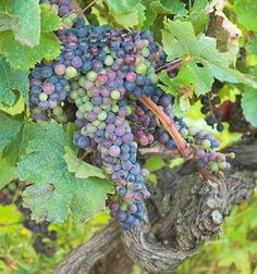 Vineyard Grape, where do you plant grapes, how do you prune grapes, how do you… Fruit Garden, Edible Garden, Vegetable Garden, Growing Grapes, Trees And Shrubs, Fruit Trees, Lawn And Garden, Garden Arbor, Dream Garden