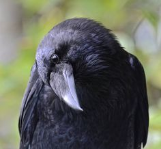 Your Daily Raven - via Wendy Davis Photography Facebook
