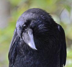 Your Daily Raven - via Wendy Davis Photography Facebook