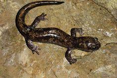 family hynobiidae - asian salamanders