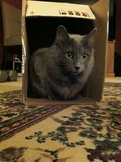 Nebelung Cat Love- they make for the most loving cats.... if you are one of the 2-3 people they bond to, lol