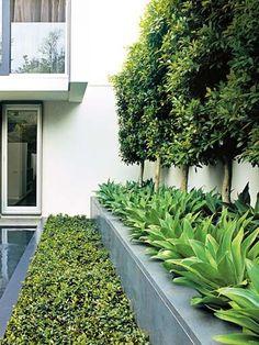 Ficus hillii pleached hedge