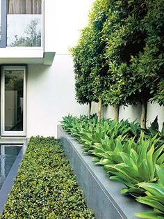 Ficus hillii pleached hedge