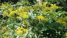 Starček Fuchsův nebo vejčitý, lidově kycol či machlín je léčivá bylina našich hor. Léčí výhradně zevně na rány, klouby a svaly. Recept na domácí mast z kycolu Plants, Fitness, Plant, Planets