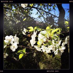 #cerisiersenfleurs #abeilles #butinage ouf  donc #cerises #Cévennes