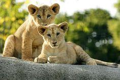 Esta fotografía muestra cachorros de leones africanos en el Parque Zoológico de París. (AFP)