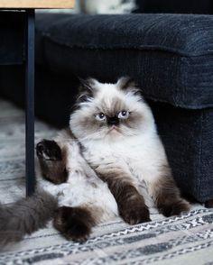 Persian Cat Gallery - Cat's Nine Lives I Love Cats, Crazy Cats, Cute Cats, Funny Cats, Himalayan Persian Cats, Himalayan Cat, Pretty Cats, Beautiful Cats, Animals Beautiful