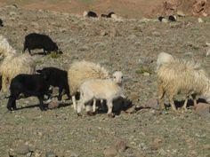 Tiny Siroua sheep, either black or white.