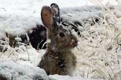 // Rabbit in snow
