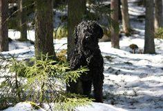 Piilossa Black Russian Terrier, Plants, Plant, Planets
