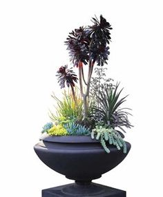 Succulent Containers | Garden Design.  Urban Urn  Although another designer might have snapped off the heads of this leggy Aeonium 'Zwartkop' (syn. Aeonium 'Schwarzkopf') and replanted them as cuttings, Holloway used it to lend height to a composition in a client's matte black, concrete, Frank Lloyd Wright-designed urn. Filler plants include: strappy-leaved Yucca aloifolia 'Purpurea', Sedum morganianum, purple-variegated Echeveria nodulosa, blue Senecio serpens, bright-yellow Sedum makinoi…