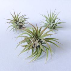 TK Replacement Air Plant by TerrariumKits on Etsy Air Plant Terrarium, Terrarium Kits, Hanging Air Plants, Blue Dream, Weathered Wood, Wood Paneling, Etsy, Products, Distress Wood