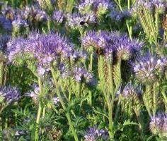 Bijenvoer (Phacelia tanacetifolia) | MijnTuin.org
