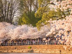 Crowds sheltered beneath the Cherry Blossoms. Thank you all for the support! It's greatly appreciated! I hope your Wednesday is wonderful. #washingtondc #tidalbasin #cherryblossom #sunset #crowds