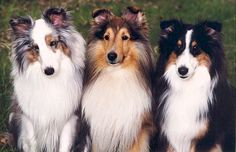 These three beauties represent the three basic colors in Shelties; merle, sable, and black. The one on the left is a merle, which happens to be a blue merle. There are also sable merles. The middle dog is a sable. On the right is a tri-colored Sheltie (black and white with tan markings.) A black and white Sheltie that has no tan markings is called a bi-black.