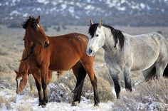 Snow Mustangs Photograph by Gene Praag - Snow Mustangs Fine Art Prints and Posters for Sale