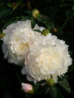 ~Peony 'Moon River'. Peonies always bring special memories of my grandmother's garden.