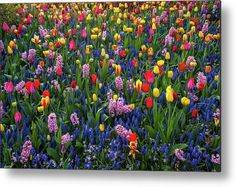 Keukenhof Motley Flower Carpet 1 Metal Print by Jenny Rainbow. All metal prints are professionally printed, packaged, and shipped within 3 - 4 business days and delivered ready-to-hang on your wall. Choose from multiple sizes and mounting options. Fine Art Prints, Framed Prints, Beautiful Flowers Garden, Gifts For My Wife, Got Print, Daffodils, Botanical Gardens, Spring Flowers, Fine Art Photography