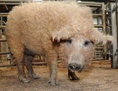 Curly haired pig