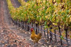 Guide to visiting Napa Valley and Wine Country at harvest time - pros and cons of the season, events, weather and crowds