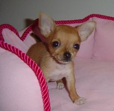 tiegan, chihuahua puppy; I want a dog just like this!