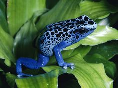 Dendrobates Azurius - the blue poison dart frog. You're so cool, you could kill me and i wouldn't even get mad.