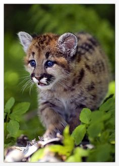 Cougar cub. By Alder Creek Photography (Cory_C on flickr)