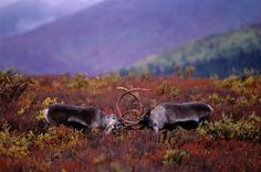 Photo by @paulnicklen // Two handsome Caribou spar in Denali National Park amidst this stunning fall scene. Please #followme @paulnicklen to see some intimate portraits of these majestic animals. // with @cristinamittermeier @natgeocreative @thephotosociety by natgeo