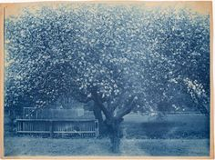 Blooming Tree  Arthur Wesley Dow  cyanotype photograph  circa 1900