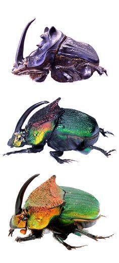 Phanaeus sp; Phanaeus igneus floridanus; Phanaeus vindex