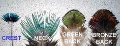 peacock BODY feathers - Buscar con Google