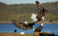 Eagle Ballet by PamsWildImages, via Flickr
