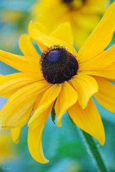 Yellow rudbeckia - sunshine flower
