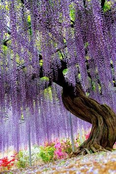 Ashikaga Flower Park, featuring here a Japanese wisteria. Ashikaga, Tochigi, Japan by v.