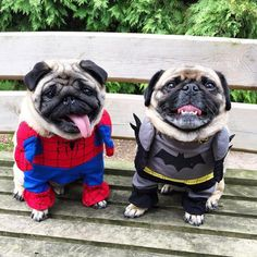 Pugs in Spiderman and Batman costumes