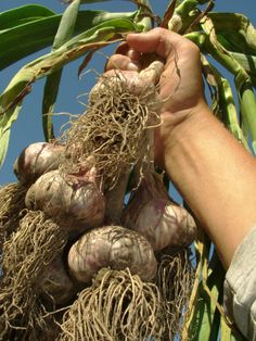 How to Grow Garlic at Home