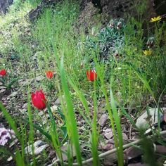 Natural flowers in Dersim