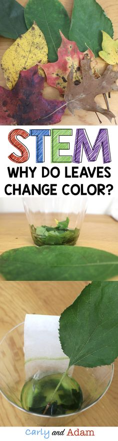 Why do leaves change colors? Students investigate this question as they complete this fall themed STEM activity. Elementary Science, Science Fair, Science Lessons, Teaching Science, Stem Teaching, Plant Science, Kindergarten Science, Elementary Teacher, Steam Activities