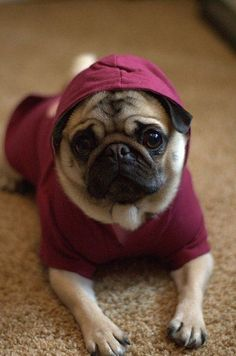 A pug in a hoodie...staring with adorable eyes right into my soul <3
