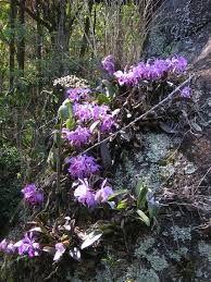 Resultado de imagem para cattleya walkeriana habitat