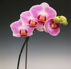 Orchid Flowers - Beautiful pink orchid flowers like these are versatile and can be added to any decor whether modern or traditional? Do you like it?