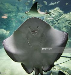 Southern Stingray Stock Photos And Pictures | Getty Images