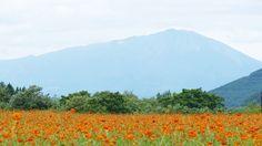 御所湖広域公園 キバナコスモス2015