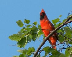 This Cardinal still lives around St. John, IN. but wishes it could hang around Hands of Spirit's Crystalline Temple
