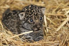 Paradise welcomes Britain's first jaguar cub | Discover Animals
