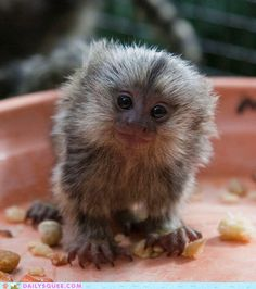 It's like a little lion looking into my soul + saying be happy.  (It's a Marmoset).